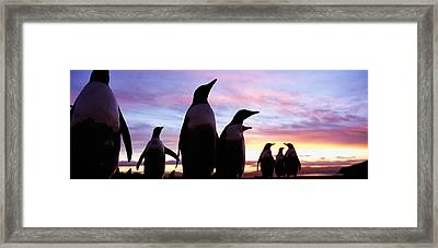 Silhouette Of A Group Of Gentoo Framed Print by Panoramic Images