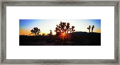 Silhouette Of Joshua Trees In A Desert Framed Print by Panoramic Images