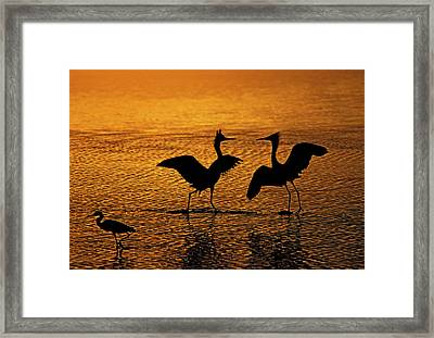 Silhouettes Of Reddish Egrets Conduct Framed Print