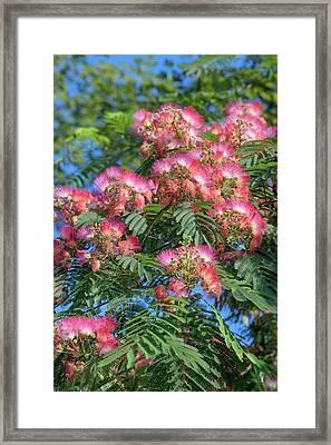 Silktree (albizia Julibrissin) Framed Print by Dr. Nick Kurzenko