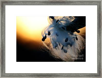 Silkweed Sunset  Framed Print