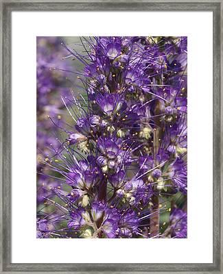 Silky Phacelia Framed Print