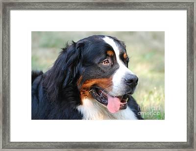 Silly Bernese Mountain Dog Framed Print by DejaVu Designs