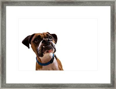 Silly Boxer Dog Framed Print by Stephanie McDowell