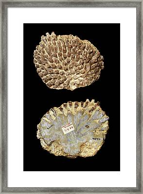 Silurian Coral Fossil Framed Print by Natural History Museum, London