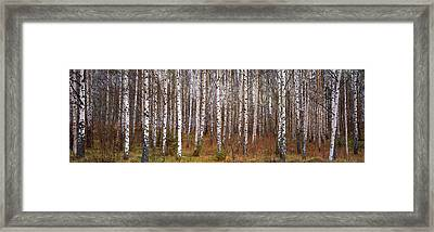 Silver Birch Trees In A Forest, Narke Framed Print