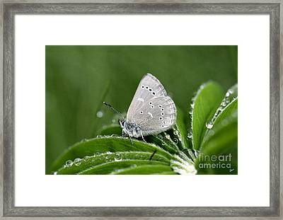 Silver Butterfly Framed Print