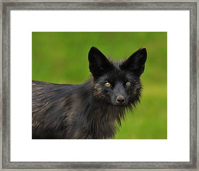 Silver Fox Framed Print by Tony Beck