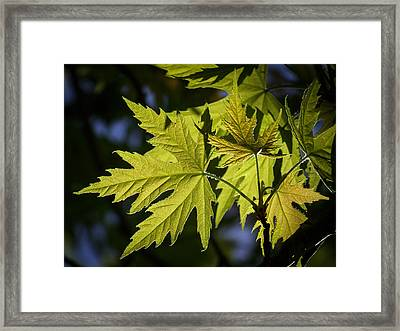 Silver Maple Framed Print by Ernie Echols