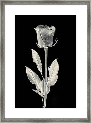 Silver Rose Framed Print