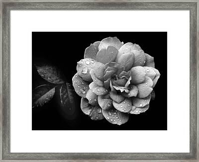 Rose Rain Framed Print by Jessica Jenney