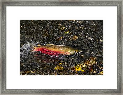 Silver Salmon Spawning Framed Print