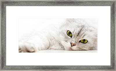 Silver Shaded Persian Framed Print