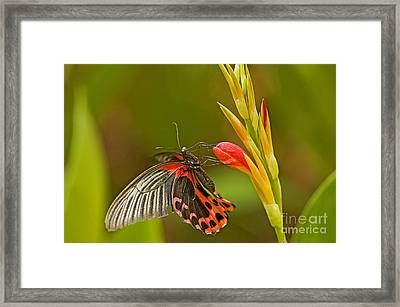Silver Spotted Flambeau Framed Print