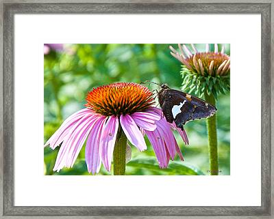 Silver-spotted Skipper And Echinachea Framed Print