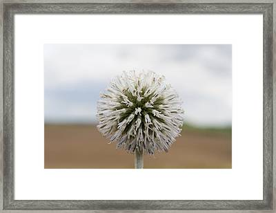 Silver Thistle Framed Print