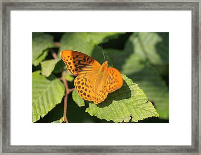 Framed Print featuring the photograph Silver-washed Fritillary  - Male - Argynnis Paphia by Jivko Nakev