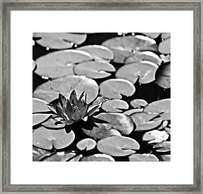 Silver Waterlily Framed Print