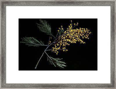 Silver Wattle Flowers Framed Print by Alexander Senin
