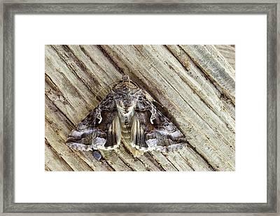 Silver Y Moth Framed Print by David Aubrey