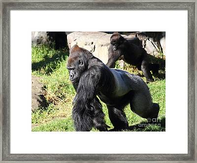 Silverback Gorilla 7d27234 Framed Print by Wingsdomain Art and Photography