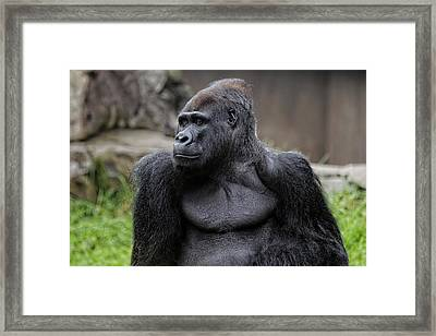 Silverback Gorilla Framed Print by Scott Hill