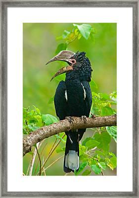 Silvery-cheeked Hornbill Perching Framed Print