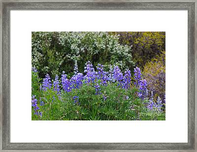 Framed Print featuring the photograph Silvery Lupine Black Canyon Colorado by Janice Rae Pariza