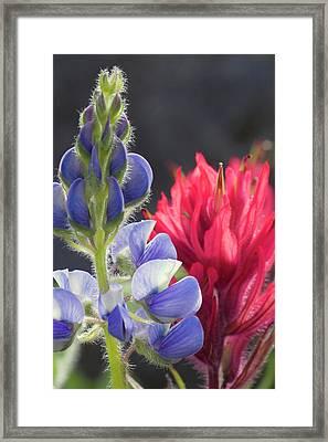 Silvery Lupine, Lavender Paintbrush Framed Print