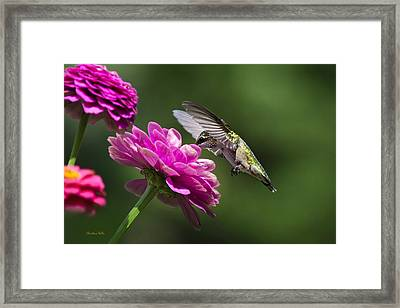 Simple Pleasure Hummingbird Delight Framed Print by Christina Rollo
