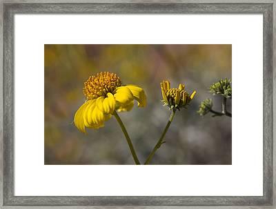 Simply A Daisy Framed Print
