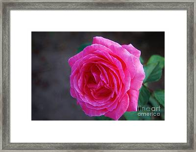Simply A Rose Framed Print