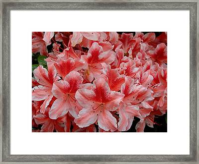 Simply Azaleas Framed Print by Rodney Lee Williams
