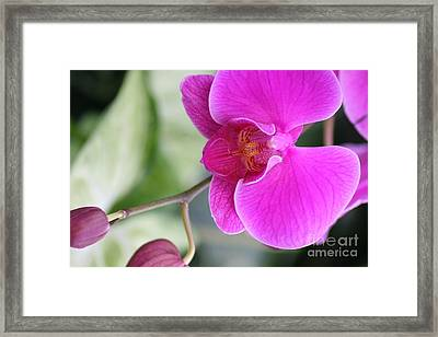 Framed Print featuring the photograph Simply Delicate Pink Orchid by Mary Lou Chmura