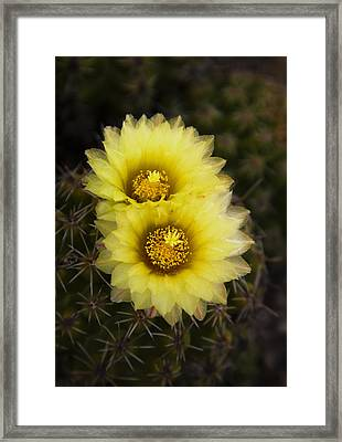 Simply Golden Cactus Flowers  Framed Print