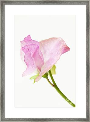 Simply Sweet Pea Framed Print by Anne Gilbert