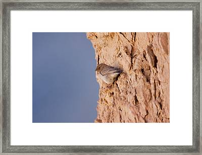 Sinai Rosefinch (carpodacus Synoicus) Framed Print by Photostock-israel