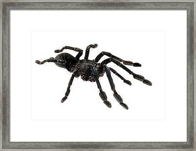Singapore Blue Tarantula Framed Print by Alex Hyde