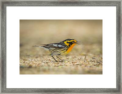 Singing Blackburnian Warbler Framed Print by Chris Hurst