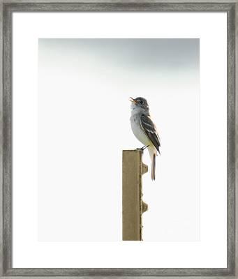 Singing Flycatcher Framed Print