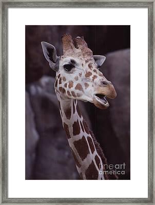 Singing Giraffe Framed Print by Anna Lisa Yoder