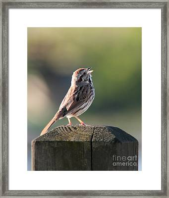 Singing Song Sparrow Framed Print