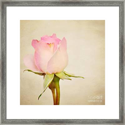 Single Baby Pink Rose Framed Print by Lyn Randle