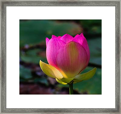 Framed Print featuring the photograph Single Blossum by John Johnson