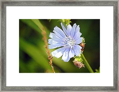 Single Blue Flower Framed Print by Stephanie Grooms