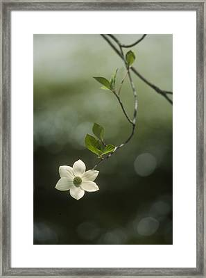 Single Dogwood Blossom Framed Print