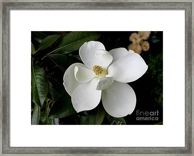 Single Magnolia II Framed Print