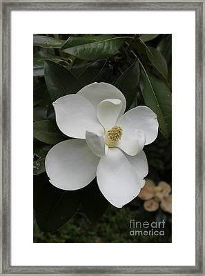 Single Magnolia Framed Print