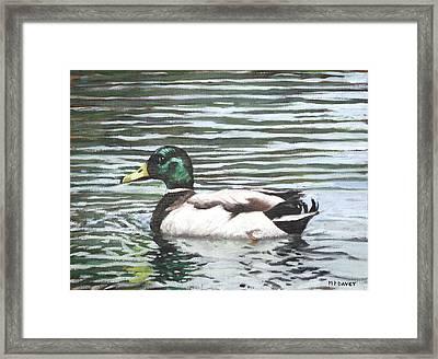Single Mallard Duck In Water Framed Print by Martin Davey