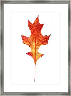 Single Oak Leaf Framed Print